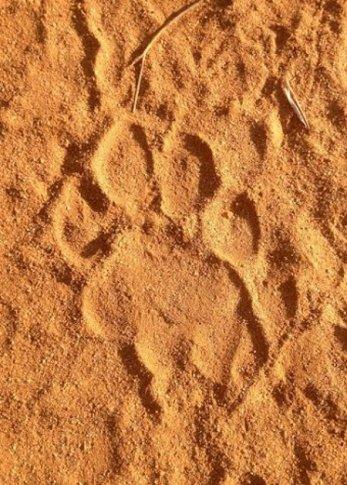 lion-pawprint-bushwise