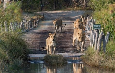 lions-crossing-bride-botswana